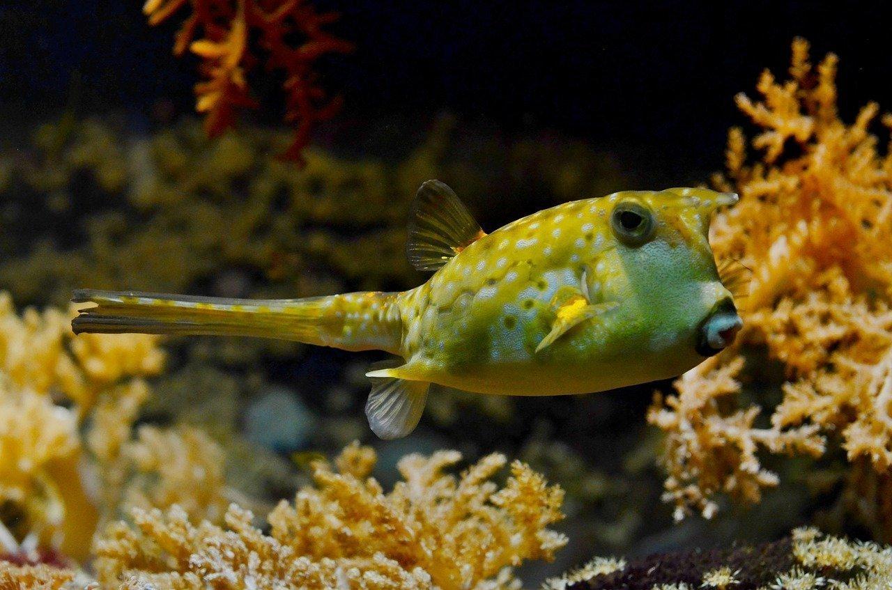 pez globo fugu